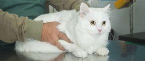 Правильное лечение грыж у кошек