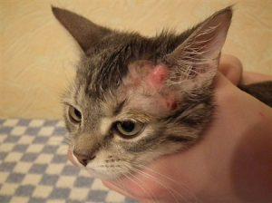 Нотоэдроз на голове у кошки