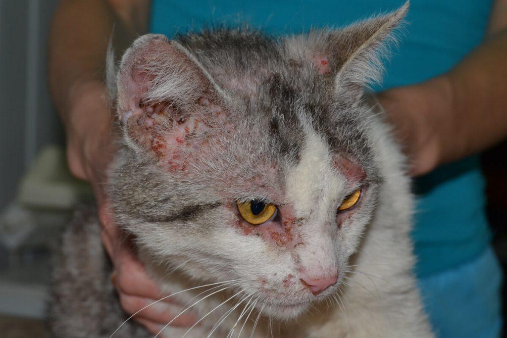 Нотоэдроз у кошки фотография