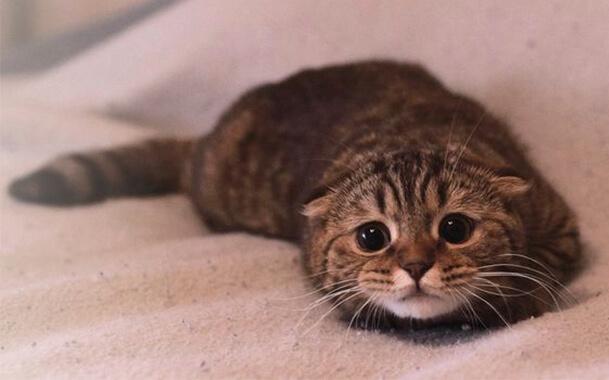 Опухоль на груди у кошки