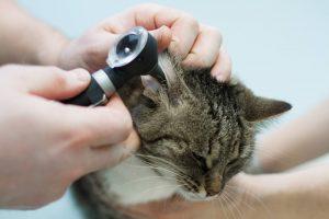 Проверка уха кошки на отит