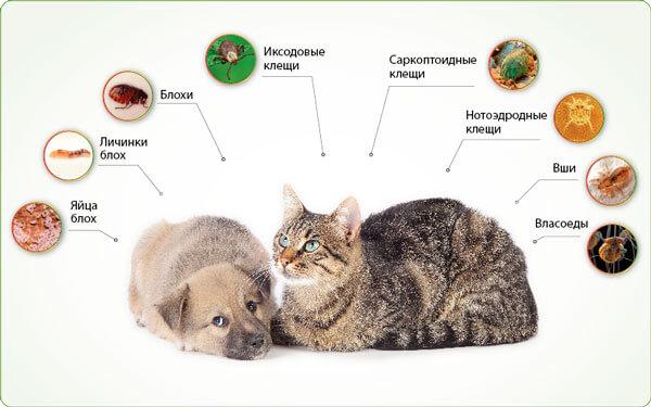 Что может быть в шерсти у кошки