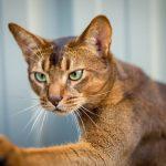 Любопытная абиссинская кошка
