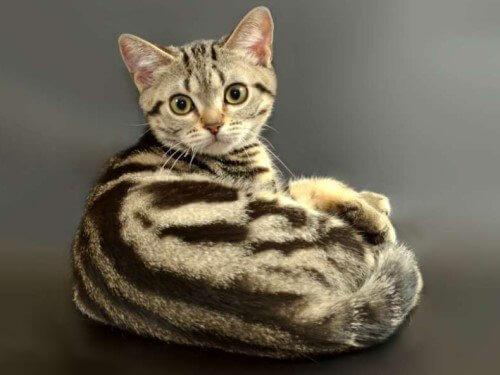 Окрас американской кошки
