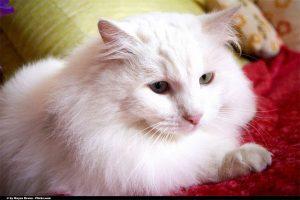 Пушистая ангорская кошка