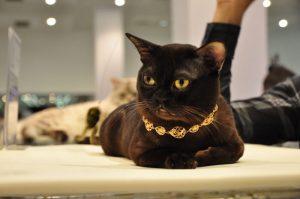 Бурманская кошка с ошейником