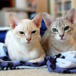 Дымчатые кошки