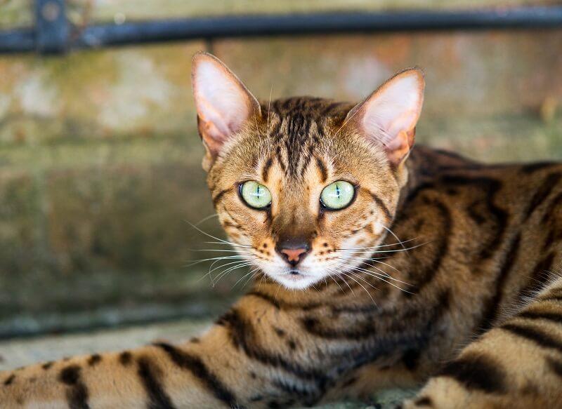Содержание бенгальской кошки дома