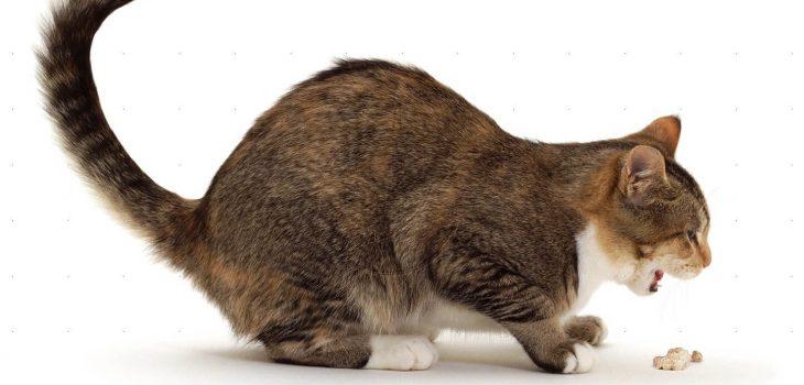 Рвота у кошки: выясняем причину и эффективное лечение