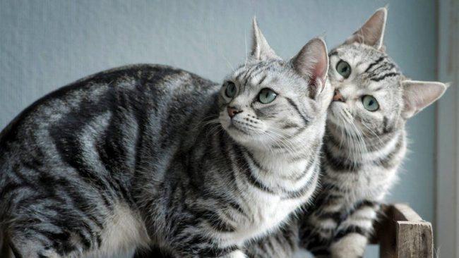 Размеры кошек