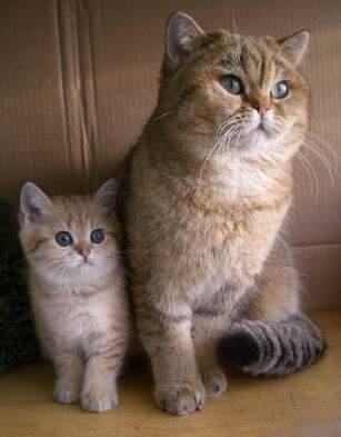 Котенок и мама-шиншилла