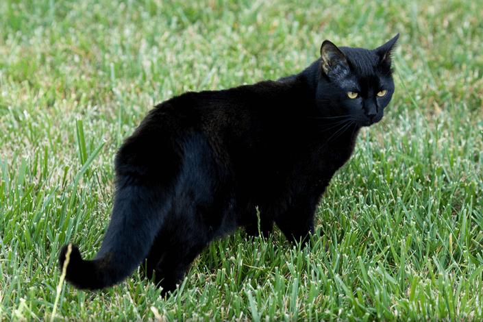 Бомбейская кошка в траве