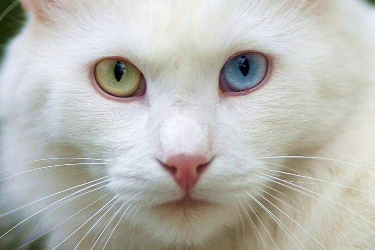 Ангорская кошка с гетерохромией