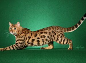 Тело бенгальской кошки