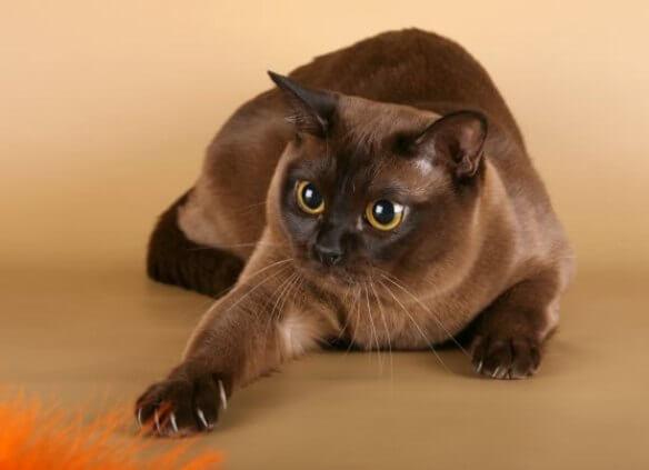 Бурманская порода кошки
