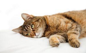 Лечение рвоты у кошки