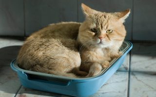 Кошка с циститом
