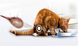 Диагностика цистита у кошки