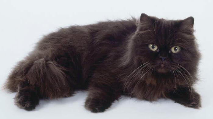 Красивая йоркская кошка