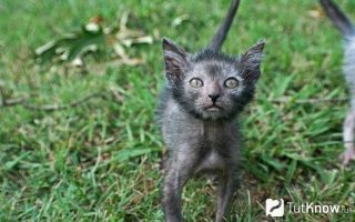 Ликои (кошка-оборотень)