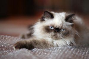 Взгляд гималайской кошки