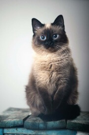 Ламповая гималайская кошка