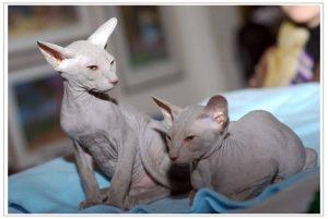 две лысых кошки