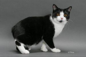 Мэнская кошка основное