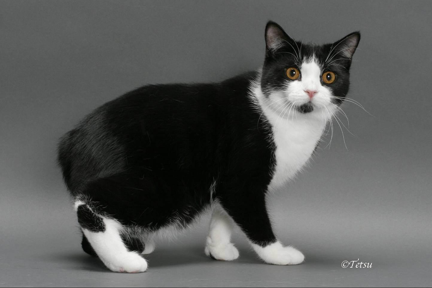 Бесхвостые кошки мэнкс: внешний вид, разновидности, особенности ухода и содержания