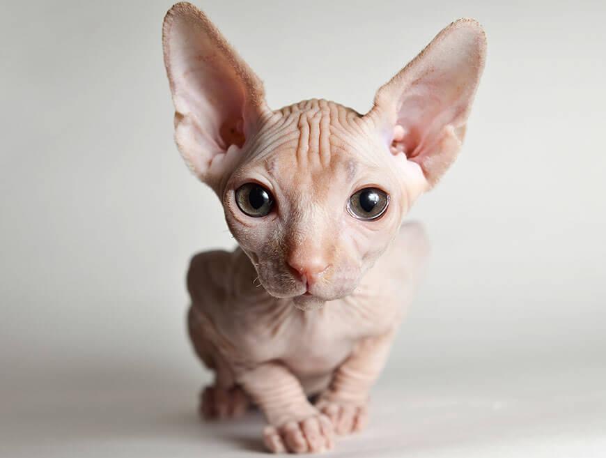 Сфинкс кошка описание породы и характера