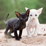 Котята корниш рекса