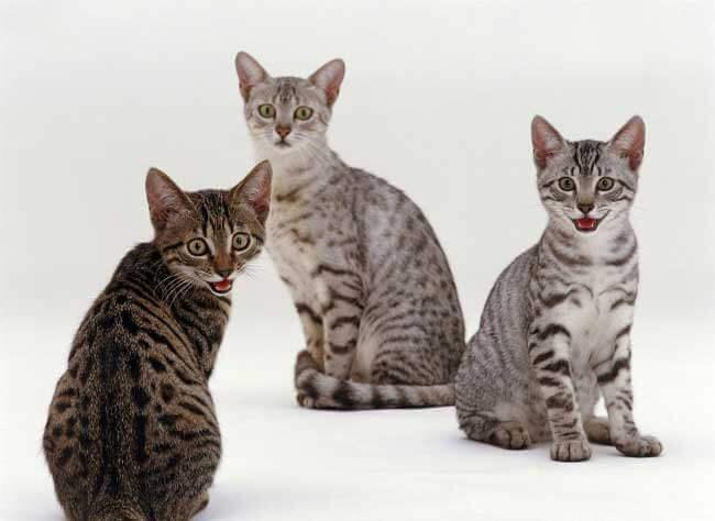 Котята кошки