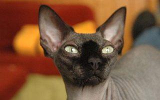 основная лысые кошки