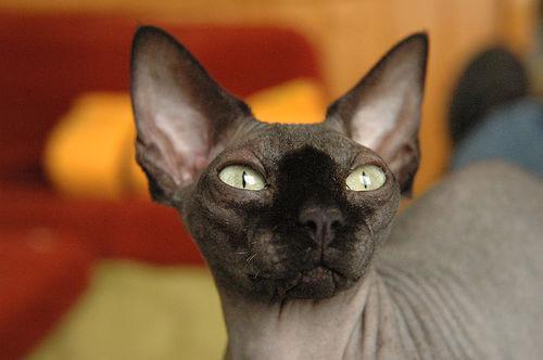 Лысые кошки, породы кошек без шерсти