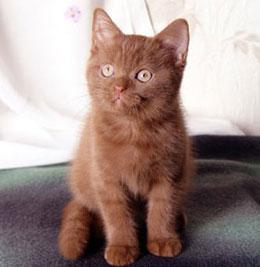 Котенок йоркской кошки