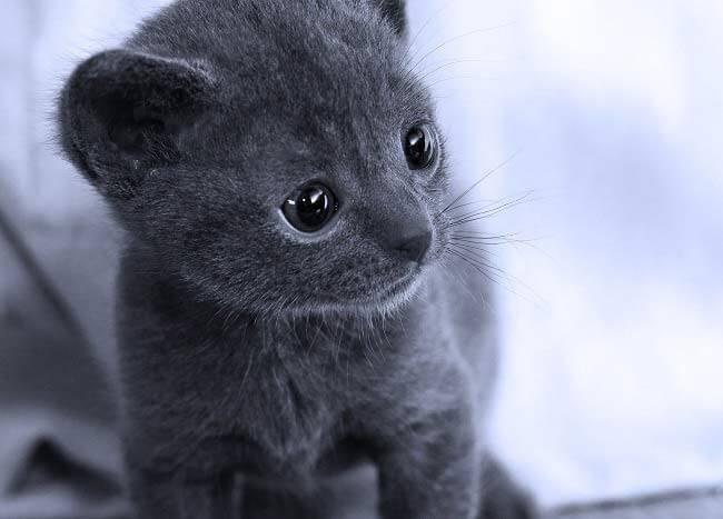 Котенок-корат
