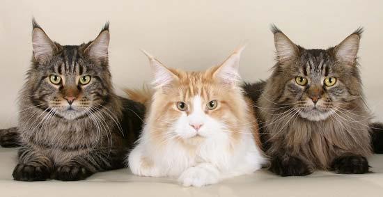 Три мейн-куна
