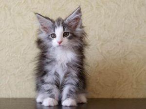 НЛК котенок