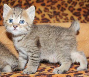пиксибоб котенок