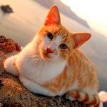 рыжая эгейская кошка