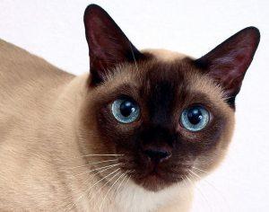 сиамская кошка морда