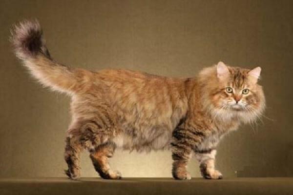 Сибирская кошка: описание и характер породы, фото