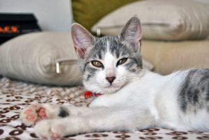 эгейская кошка в ошейнике