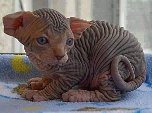 котенок петерболд
