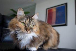сибирский кот красно-белый