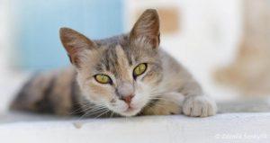 морда эгейской кошки