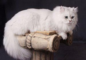 кошка Шантильи Тиффани