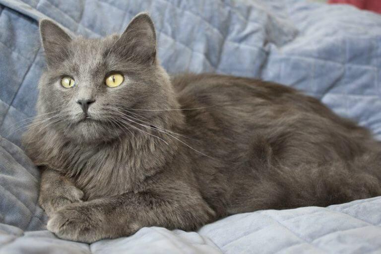 Нибелунг порода кошек: история, характер, фото и видео