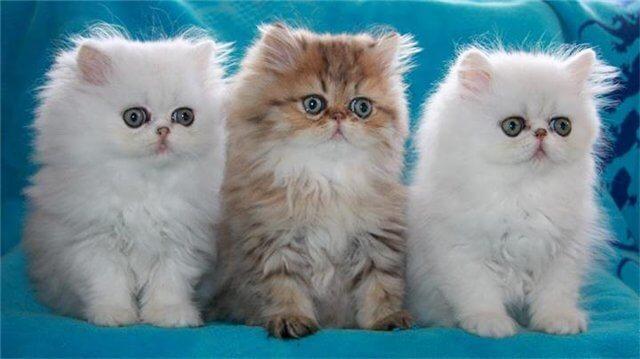 котята перса