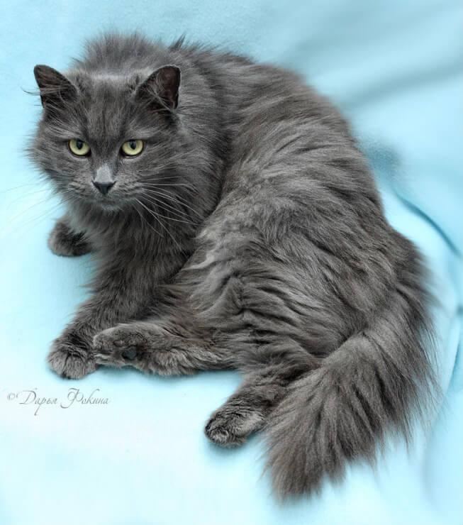печать русская сибирская кошка фото голубая энергетика грузии необходимость